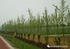 清苑区旅游路景观绿化工程项目施工三标段