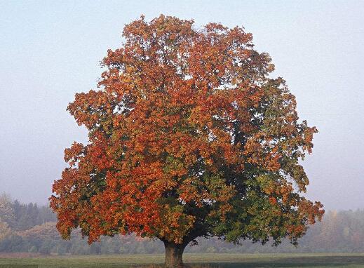 园林景观树.jpg